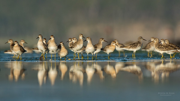 Sharp-tailed Sandpipers, Lake Wollumboola, NSW, Nov 2014