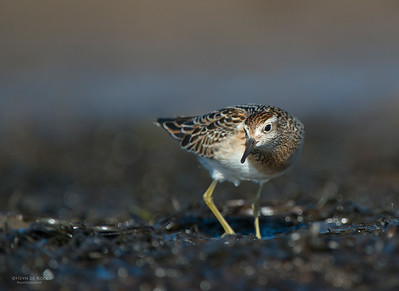 Sharp-tailed Sandpiper, Shoalhaven Heads, Oct 2012-3