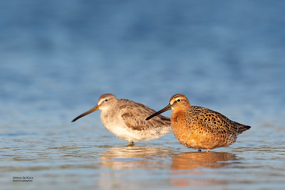 Short-billed Dowitcher, Fort De Soto, St Petersburg, FL, USA, May 2018-3