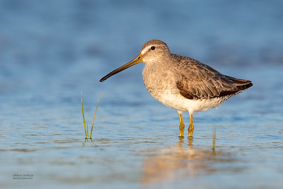 Short-billed Dowitcher, Fort De Soto, St Petersburg, FL, USA, May 2018-8
