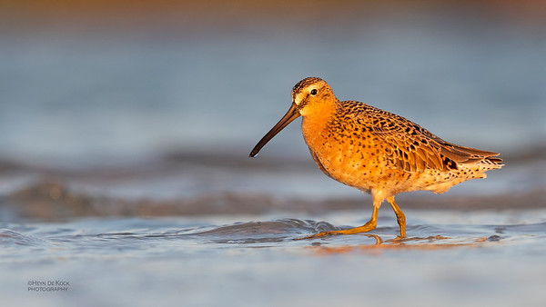 Short-billed Dowitcher, Fort De Soto, St Petersburg, FL, USA, May 2018-11