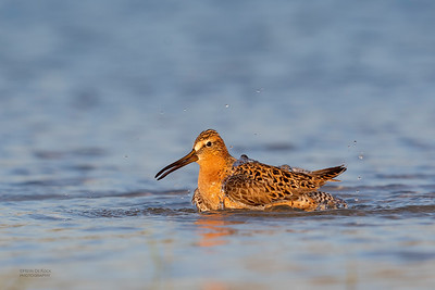 Short-billed Dowitcher, Fort De Soto, St Petersburg, FL, USA, May 2018-7