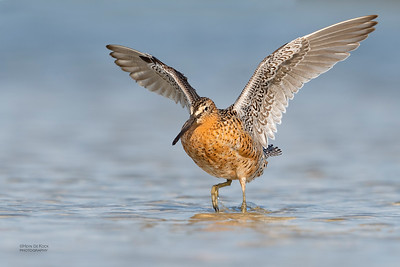 Short-billed Dowitcher, Fort De Soto, St Petersburg, FL, USA, May 2018-21