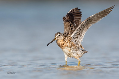 Short-billed Dowitcher, Fort De Soto, St Petersburg, FL, USA, May 2018-17