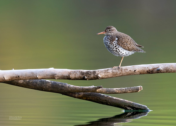 Spotted Sandpiper, Standing Bear Lake, NE, USA, May 2018-1