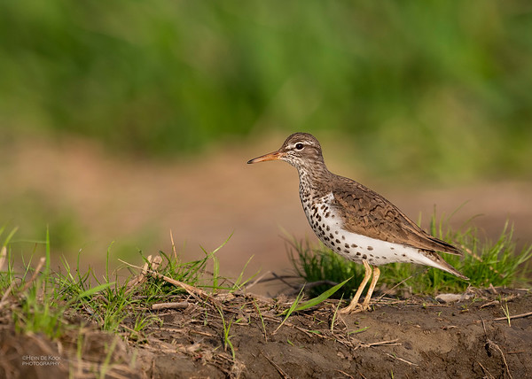 Spotted Sandpiper, Standing Bear Lake, NE, USA, May 2018-4