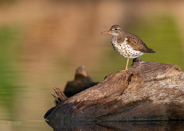 Spotted Sandpiper, Standing Bear Lake, NE, USA, May 2018-2