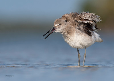 Willet, Fort De Soto, St Petersburg, FL, USA, May 2018-8