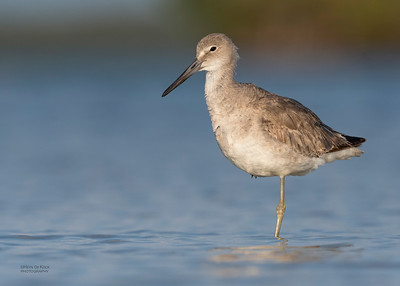Willet, Fort De Soto, St Petersburg, FL, USA, May 2018-11