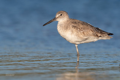 Willet, Fort De Soto, St Petersburg, FL, USA, May 2018-1