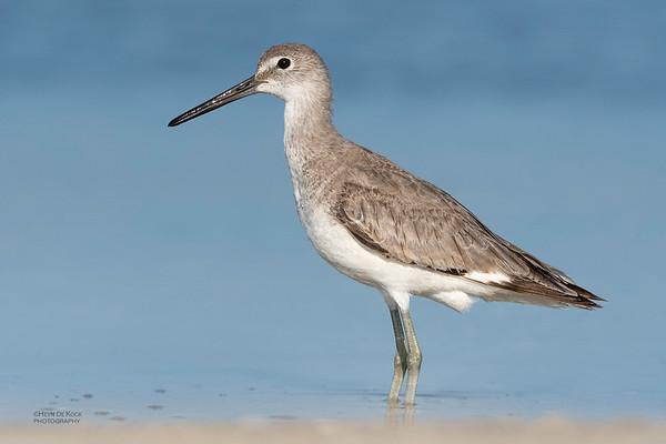 Willet, Fort De Soto, St Petersburg, FL, USA, May 2018-13