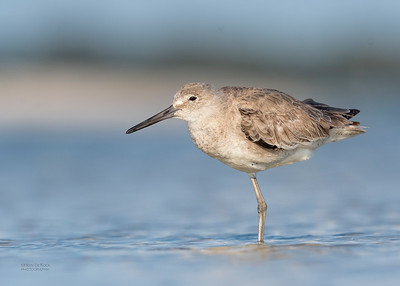 Willet, Fort De Soto, St Petersburg, FL, USA, May 2018-5