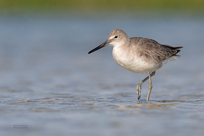 Willet, Fort De Soto, St Petersburg, FL, USA, May 2018-9