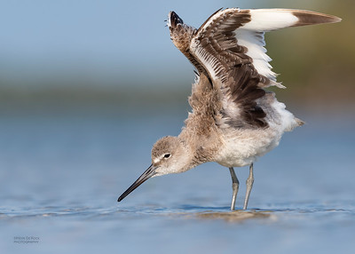 Willet, Fort De Soto, St Petersburg, FL, USA, May 2018-7