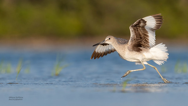 Willet, Fort De Soto, St Petersburg, FL, USA, May 2018-12