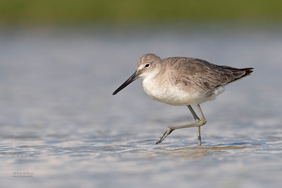 Willet, Fort De Soto, St Petersburg, FL, USA, May 2018-4