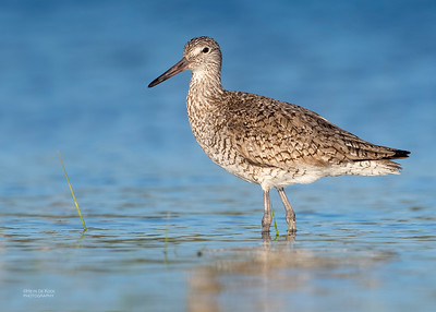 Willet, Fort De Soto, St Petersburg, FL, USA, May 2018-2