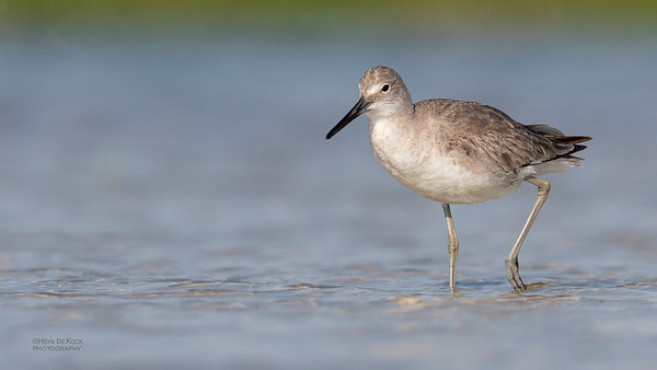 Willet, Fort De Soto, St Petersburg, FL, USA, May 2018-10