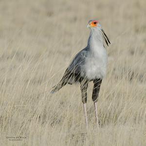 Secretary Bird, Etosha NP, Namibia, July 2011-1