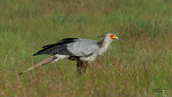 Secretary Bird, Golden Gate NP, FS, SA, Jan-2014-3