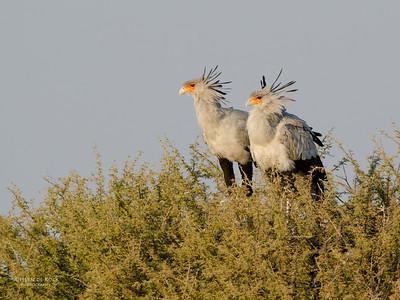 Secretary Bird, Etosha NP, Namibia, July 2011