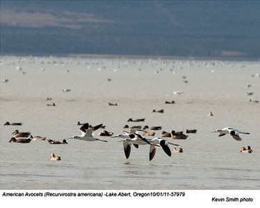 AmericanAvocets57979