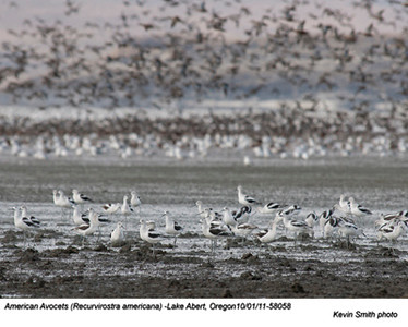 AmericanAvocets58058