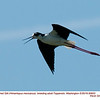 Black-necked Stilt A90603