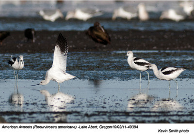 AmericanAvocets49394