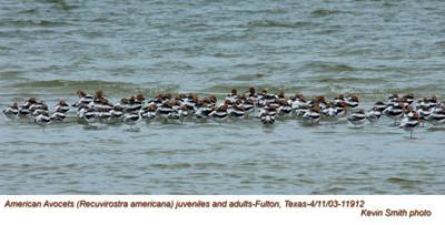 American Avocets 11912