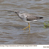 Greater Yellowlegs A98405