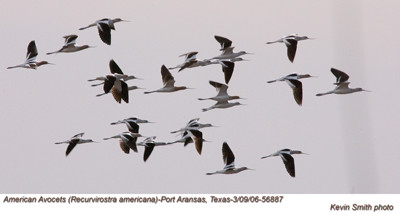 AmericanAvocets56887