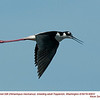 Black-necked Stilt A90631