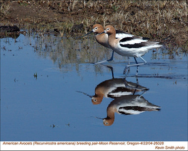 AmericanAvocets26028