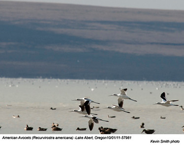 AmericanAvocets57981