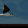 Black-necked Stilt A24939