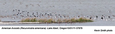 AmericanAvocets57879