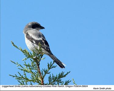 Loggerhead Shrike29924