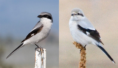 Loggerhead-NorthernShrikes