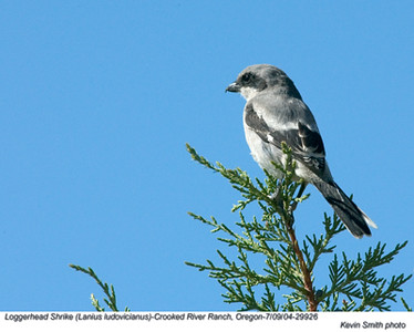 Loggerhead Shrike29926