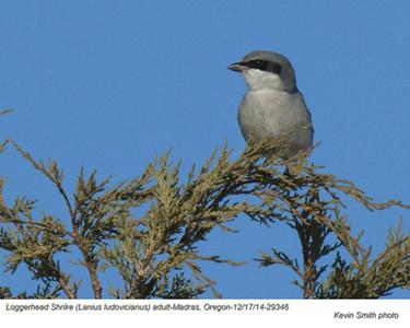 Loggerhead Shrike A29346