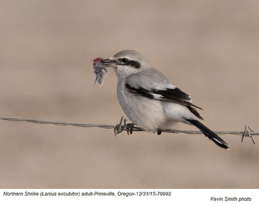 Northern Shrike A79992