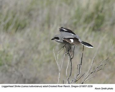 Loggerhead Shrike3239