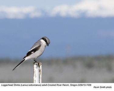 Loggerhead ShrikeA7458