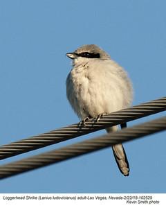 Loggerhead Shrike A102529