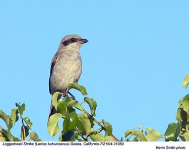 Loggerhead Shrike31050