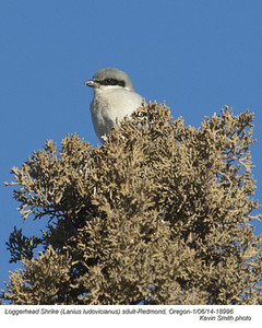 Loggerhead ShrikeA18996
