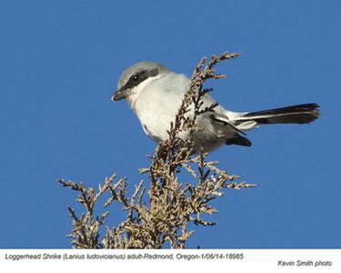 Loggerhead ShrikeA18985