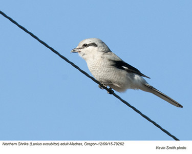 Northern Shrike A79262
