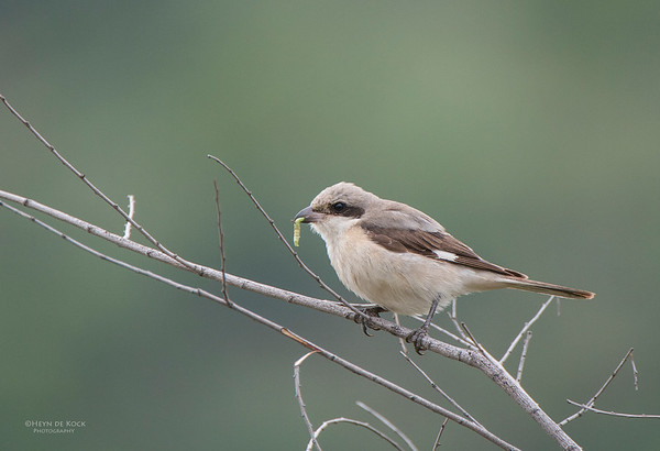 Lesser Grey Shrike, Pilansberg National Park, SA, Dec 2013-1